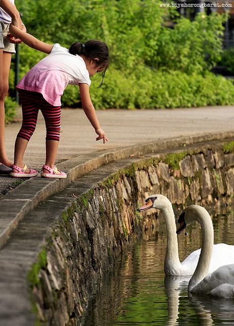 Feeding Swans Singapore Botanic Garden