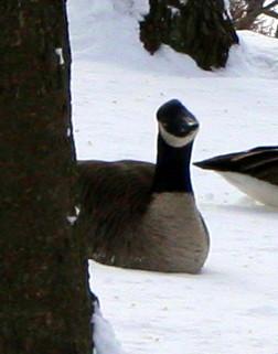 Inquiring Goose