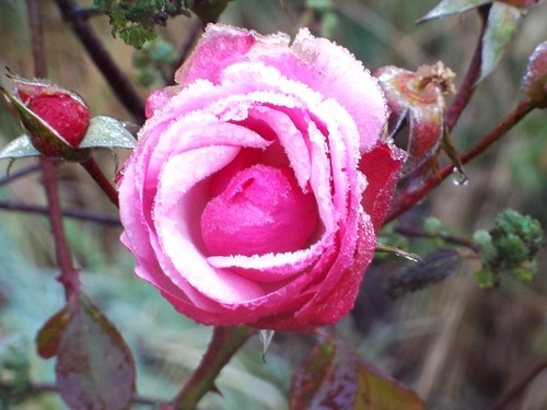 20121201-13__Frosty Rose_Cawston Rugby_By Craig by gary.hadden