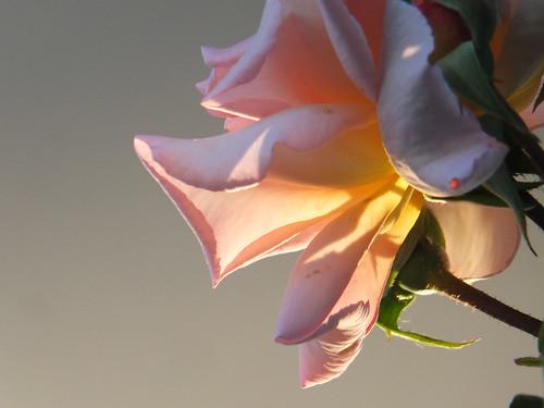 Fragrant Hour Rose_0008.jpg by Patricia Manhire