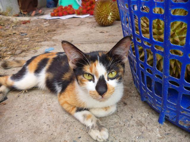 Wild cat at Kota Belud