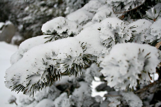 pine trees with snow, winter snow, Lake Tahoe snow