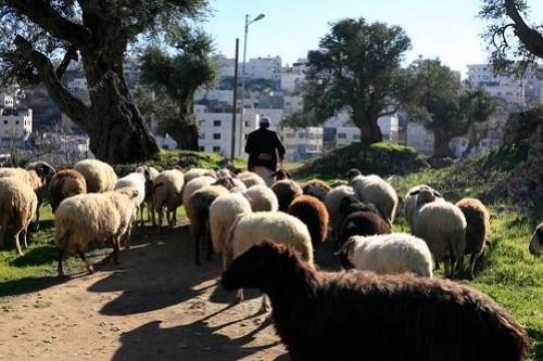 Shepherd at Tal Rumeida, Hebron