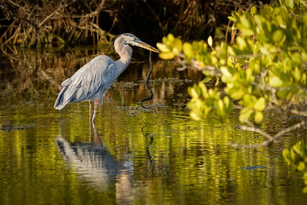 Great Blue Heron with breakfast
