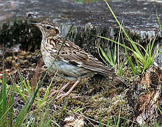 Woodlark Lullula arborea Skipworth Common, North Yorkshire July 2010