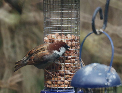 Chestnut-headed house sparrow