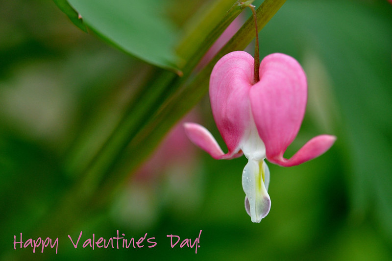 bleeding_heart_valentines