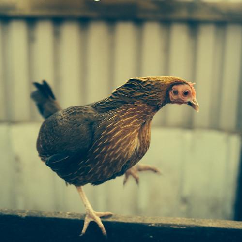 Dancing chicken by Fitzrovia