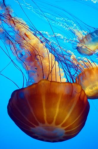 DSC_0159 jellyfish 850