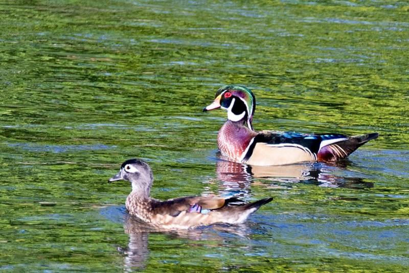 _DSC5124 Wood Duck