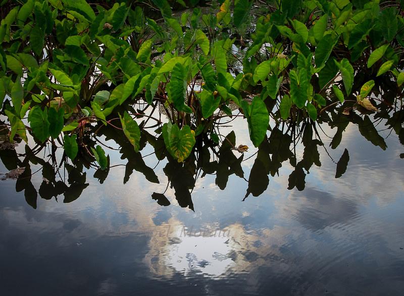 Waipio Valley, taro reflections