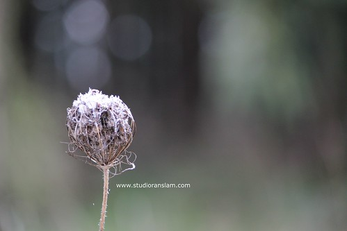 Frosted Queen's Anne Lace