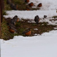 Flock of American Robins