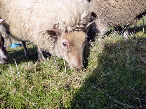 Glotz-Schaf