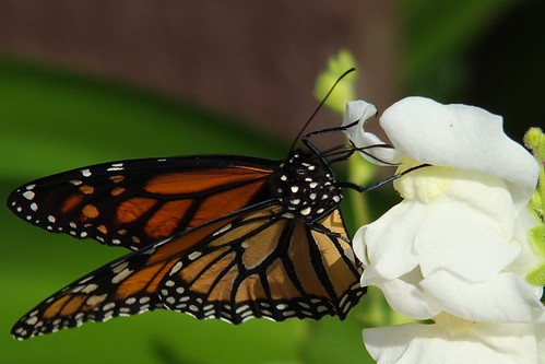 Monarch butterfly on snapdragon_0002.jpg by Patricia Manhire