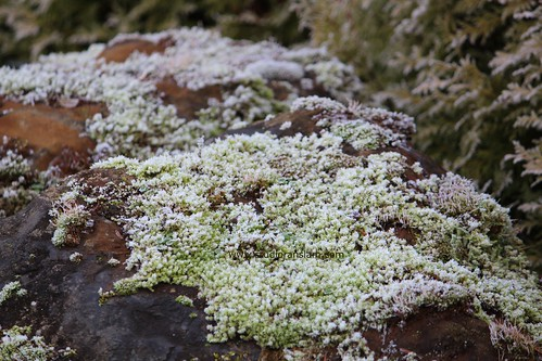 Moss Frosting