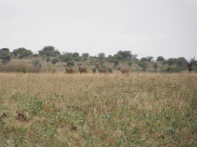 Kudus mayores (Tragelaphus strepsiceros)