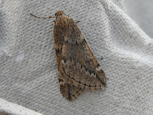 March Moth Alsophila aescularia Tophill Low NR, East Yorkshire March 2013