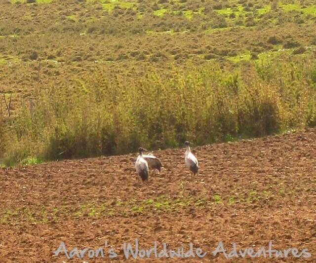 Rare Black Neck Cranes