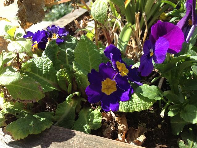 Purple primrose flowers