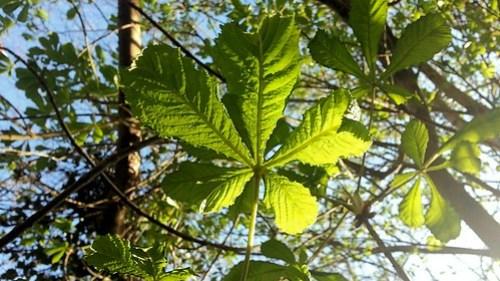 Spring chestnut leaves