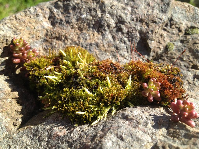 Clump of moss with succulents