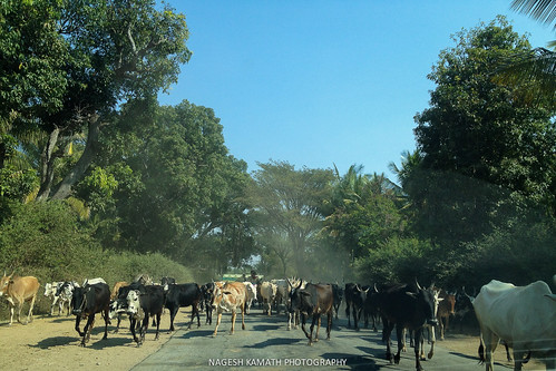 Cattle Traffic
