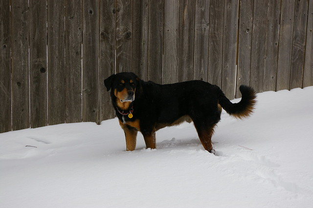 Rottweilers Playing in Deep Snow