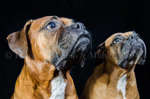 Retrato de dos boxers posando