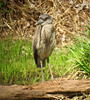 Yellow-crowned Night-Heron, Franklin Twp., NJ, Apr. 22, 2013