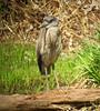 Yellow-crowned Night-Heron, Franklin Twp., NJ, Apr. 22, 2013