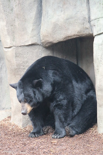 Black Bears at the Zoo (6)