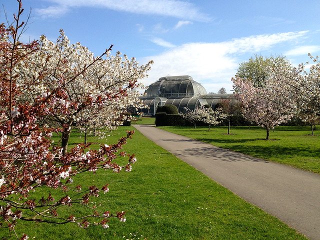 Kew cherry blossom - Palm House