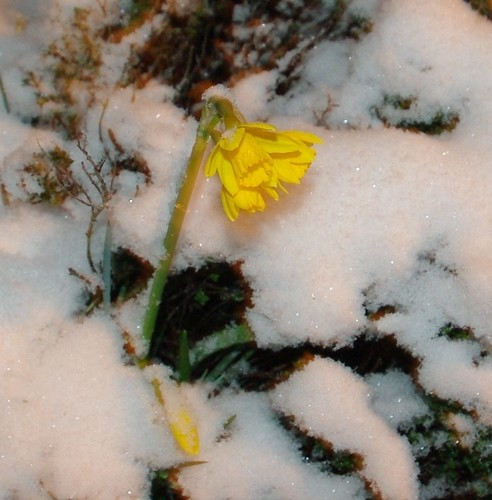 20130323-GTete-a-tete narcissus (daffodil) in the snow by gary.hadden