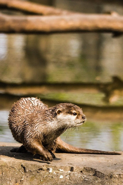 Peaceful portrait of a river otter on a rock, looking intently to something off to the right. Out-of-focus calm water and logs are in the background
