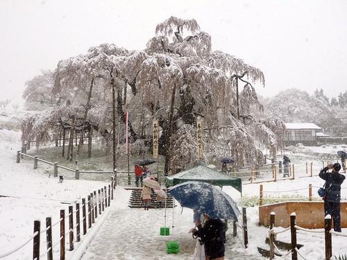 三春滝桜(東北トリップ)