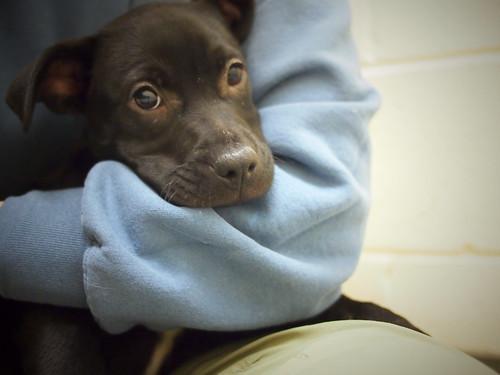 Black Lab puppies (Kennel P10)