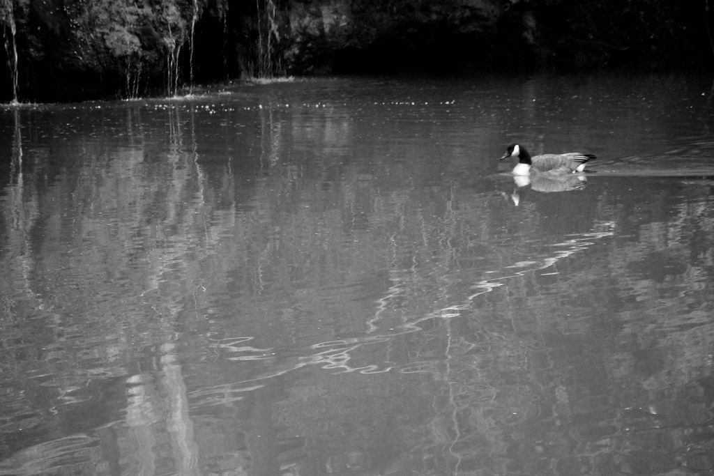 Canada Goose on River