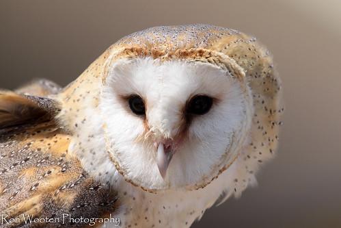 Eurasian Barn Owl