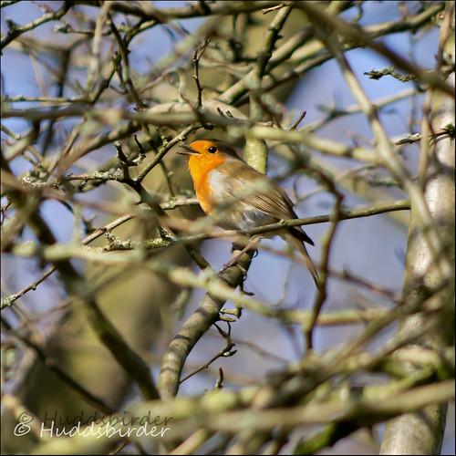 Robin 9/52