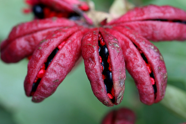 Paeonia seed