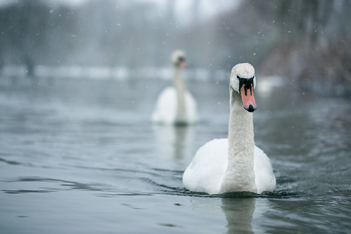 Nimbus Of Winter (Pair Of Swans In Snow), Rickmansworth