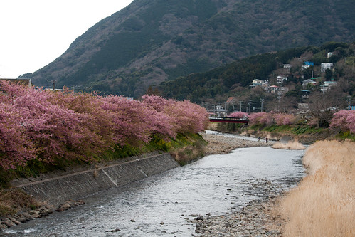 Arboles de cerezo (Sakura) a lo largo del rio