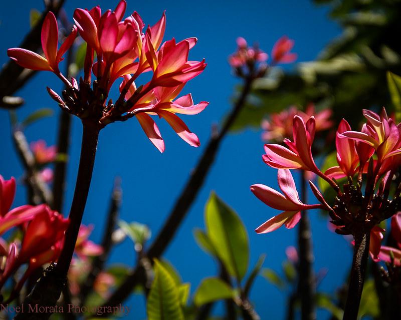 Plumeria blooms ,Trommer Lilly Farm, Big Island