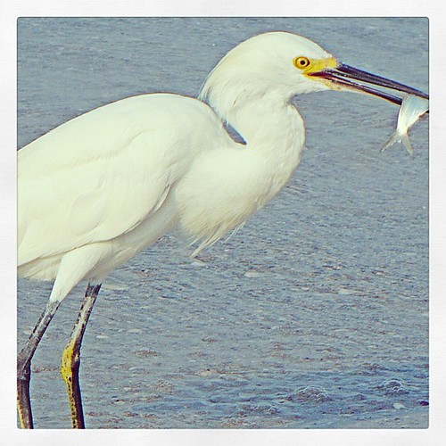 Mar 10 - 'E' {egret taken last September in Florida} #photoaday #egret #florida #bird #gulfofmexico #madierabeach