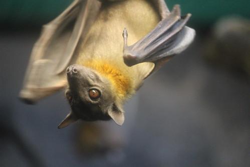 Straw-Colored Fruit Bat (2)