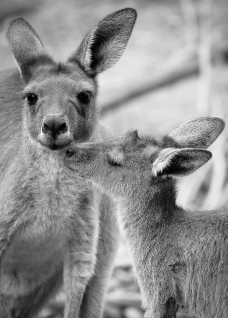 Baby Joey giving mum a kiss...