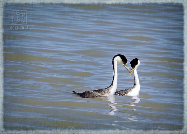 Grebe Courtship 1