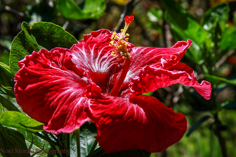 Hibiscus blooms,Trommer Lilly Farm, Big Island
