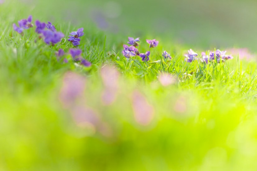 more violets in the grass [Explored!]